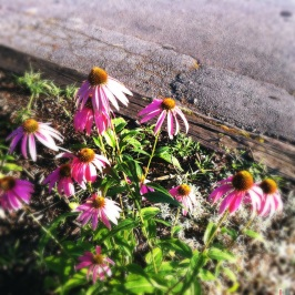 Purple Coneflowers often bring about an impulse, a deep longing within me... What awakens the impulse in you?